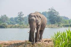 亚洲大象在森林里, surin,泰国 图库摄影