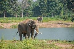 亚洲大象在森林里, surin,泰国 免版税库存照片