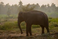 亚洲大象在森林里, surin,泰国 库存照片