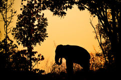 亚洲大象在森林里 库存照片