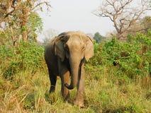亚洲大象在Chitwan国家公园。 库存照片