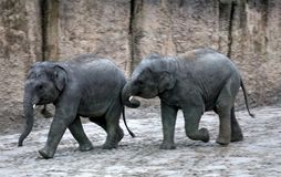 亚洲大象小牛使用 免版税库存照片