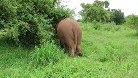 亚洲大象泰国 股票视频
