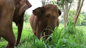 亚洲大象泰国 股票录像