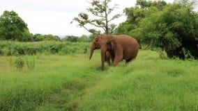 亚洲大象泰国 影视素材