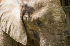 亚洲大象特写镜头 免版税库存图片