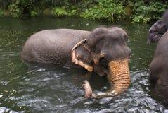 亚洲大象,新加坡 免版税图库摄影