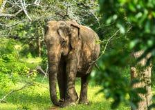 亚洲年轻大象,自然背景 Yala,斯里兰卡 免版税库存照片