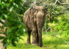 亚洲年轻大象,自然背景 Yala,斯里兰卡 库存照片