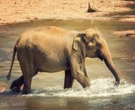 亚洲大象浴在河锡兰, Pinnawala 免版税库存图片