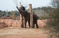 亚洲大象 库存图片