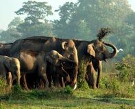 亚洲大象 免版税库存照片