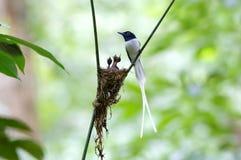 亚洲天堂捕蝇器Terpsiphone帕拉迪西白色变体巢婴孩 库存图片