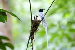 亚洲天堂捕蝇器Terpsiphone帕拉迪西白色变体巢婴孩 免版税库存照片