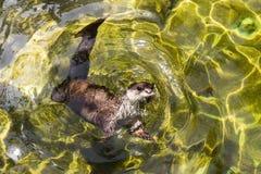 亚洲小抓的水獭 免版税库存图片