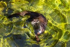 亚洲小抓的水獭 库存图片