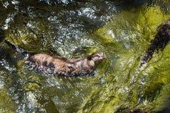 亚洲小抓的水獭 库存照片