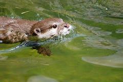 亚洲小抓的水獭(amblonyx cinereus)游泳 库存照片