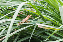亚洲小的蜥蜴 库存图片