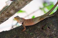 亚洲小的蜥蜴 库存照片