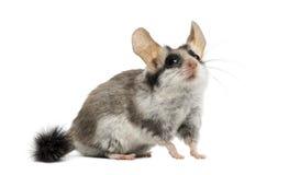 亚洲庭院睡鼠(Eliomys melanurus) 免版税库存图片