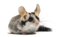 亚洲庭院睡鼠(Eliomys melanurus) 免版税库存照片