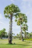 亚洲扇叶树头榈棕榈,棕榈汁,桄榔,柬埔寨棕榈 库存图片