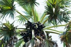 亚洲扇叶树头榈棕榈,棕榈汁,桄榔 免版税库存图片