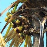亚洲扇叶树头榈棕榈 图库摄影