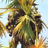 亚洲扇叶树头榈棕榈 免版税图库摄影