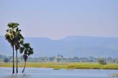 亚洲扇叶树头榈棕榈 库存图片