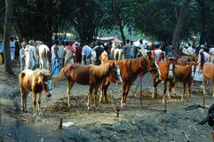 亚洲最大的牛公平的s 图库摄影