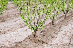 亚洲柿树树 库存照片