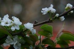 亚洲洋梨树 图库摄影