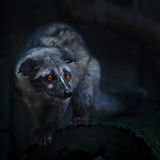 亚洲椰子猫 库存图片