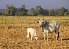 亚洲母牛和小的小牛 免版税库存照片