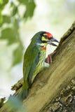 亚洲热带巨嘴鸟 图库摄影
