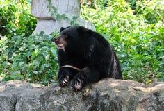 亚洲黑熊坐岩石 免版税库存照片