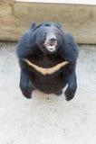 亚洲黑熊身分 免版税库存照片