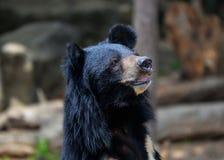 亚洲熊黑色 免版税库存照片