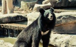 亚洲熊黑色 库存照片