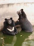亚洲熊黑色 免版税图库摄影