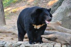 亚洲黑熊 免版税库存图片
