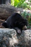 亚洲黑熊 库存图片