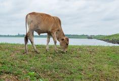 亚洲牛和多云天空,小组母牛 免版税库存图片