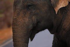 亚洲狂放的大象 免版税库存图片