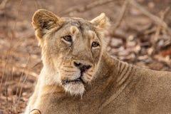 亚洲狮子女性 免版税库存照片