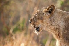 亚洲狮子女性 免版税库存图片