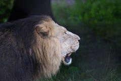 亚洲狮子-豹属利奥persica 库存照片