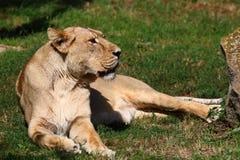 亚洲狮子 库存照片